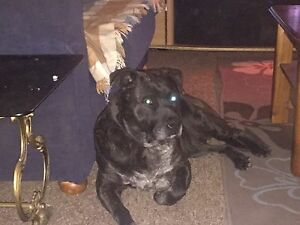 Missing dog Charlestown Lake Macquarie Area Preview