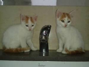 My Adorable Ragdoll X kittens Geelong Geelong City Preview