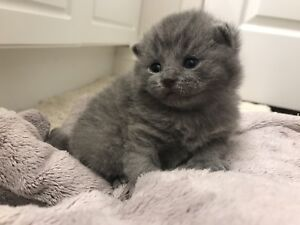 ONLY 3 Blue Male British Shorthair Kittens available(update)