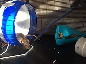 2 Male Rats and Large Cage