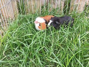 Baby guinea pigs for sale Glenvale Toowoomba City Preview