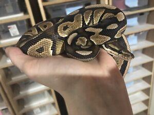 Very docile 0.1 Cinnamon 50% dbl het albino/OG ball python