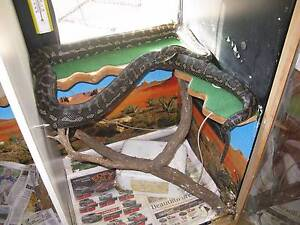 snake and enclosure for sale Gowrie Junction Toowoomba Surrounds Preview