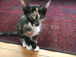 Sweet 12wk old Tortoise Shell Kitten $50 Cremorne Point North Sydney Area Preview