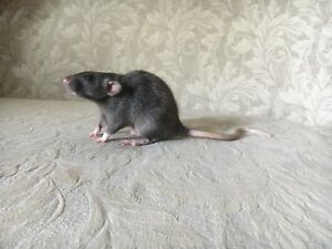 New Rattery