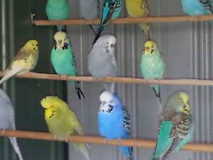 YOUNG/ADULT ENGLISH & AUSTRALIAN BUDGIES FOR SALE Highett Bayside Area Preview