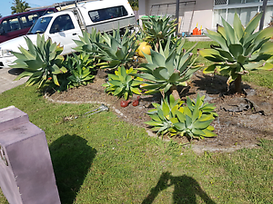 Agave plants Thornlands Redland Area Preview