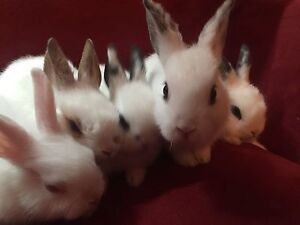 Netherland dwarf bunnies -8 weeks old!