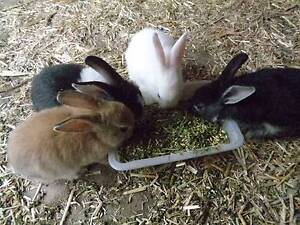 Six young bunnies for sale Kingsgrove Canterbury Area Preview
