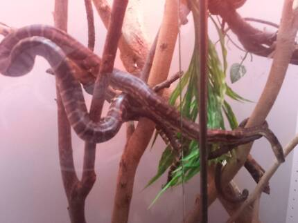 male and female bredli with enclosure Walkley Heights Salisbury Area Preview