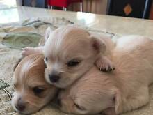 Pure breed long hair chihuahua pups Cherrybrook Hornsby Area Preview