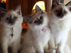 BIRMAN Chocolate  & Blue Points ( Similar to Ragdoll ) Muckleford Mount Alexander Area Preview