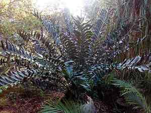 Cycad encephalartos Woodend Ipswich City Preview