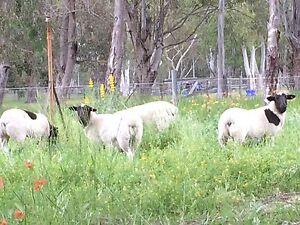 Sheep - Dorper lambs Serpentine Serpentine Area Preview