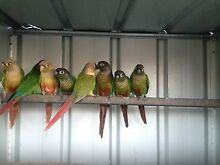 Green checked conures Ambarvale Campbelltown Area Preview
