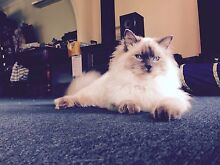 Female Ragdoll Kitten Rutherford Maitland Area Preview