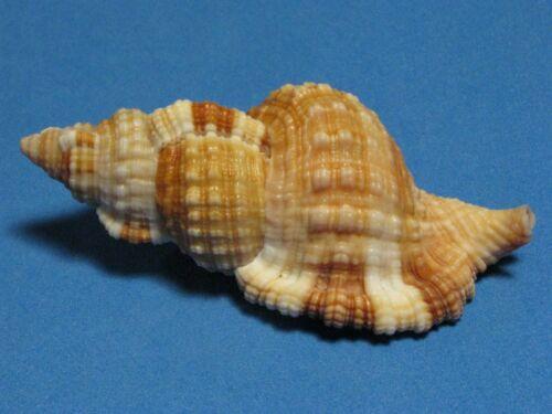 """Cymatium Monoplex aquatilis (Reeve, L.A., 1844)""""BEAUTIFUL!"""" ( 80.4mm)"""