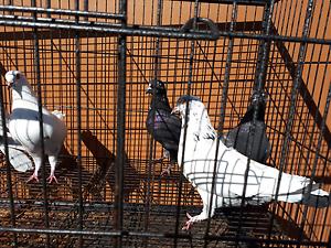 Pigeons... high flighers Gosnells Gosnells Area Preview