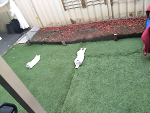 Cute fluffy White Rabbits for sale. Oxley Park Penrith Area Preview