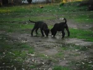 Stag Cross Puppies Clunes Hepburn Area Preview