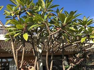 Established Frangipani Tree Woolloomooloo Inner Sydney Preview