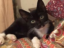 URGENT URGENT RESCUED LITTLE CHEEKY MINI NEED A GOOD LOVING HOME Riverwood Canterbury Area Preview