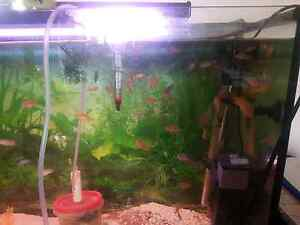 Cichlids for sale Cronulla Sutherland Area Preview