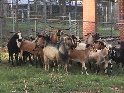 Bush Goats