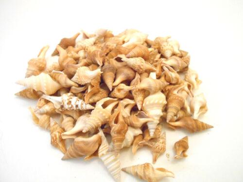 "100 Javana Shells Seashells 3/4-1 1/2""  Java Turrid Craft Beach Nautical Decor"