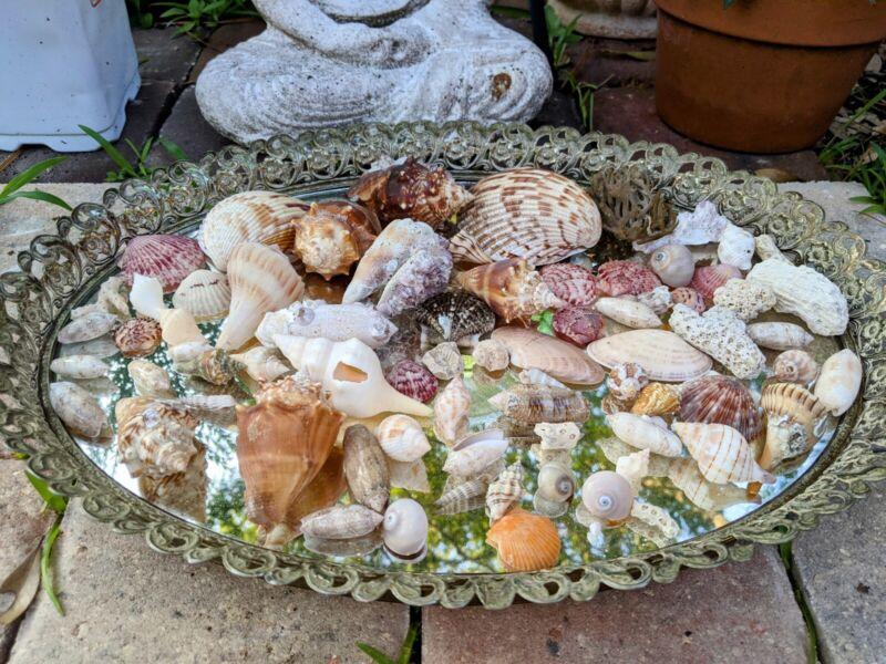 Florida Earth Friendly Hand Collected Seashells  Beach Decor Crafting Weddings