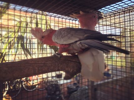 Major Mitchell and galah for sale as a pair