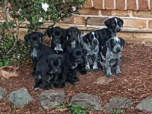 Pups for sale Nerang Gold Coast West Preview