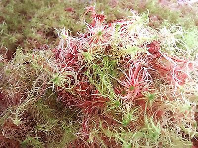 Musgo sphagnum vivo VERDE/ROJO (1 litro) especial plantas carnívoras/orquídeas