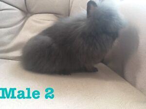 PRICE REDUCED DOUBLE MANE LIONHEADS