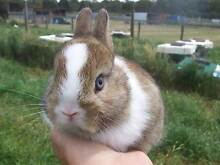 Purebred Agouti Vienna Netherland Dwarf Doe Rabbit For Sale. Bayswater Knox Area Preview