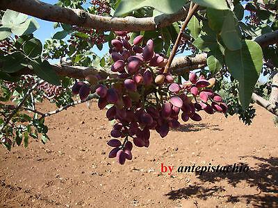 50 Seeds PISTACIA VERA Antep Turkish Pistachios ...