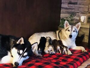 Adopt Dogs & Puppies Locally in North Bay | Pets | Kijiji