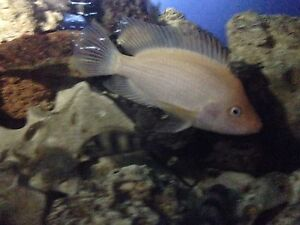 Cichlid red devil Burns Beach Joondalup Area Preview