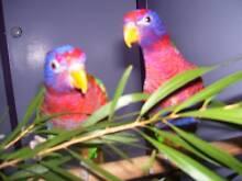Rainbow lorikeet x Moe Latrobe Valley Preview
