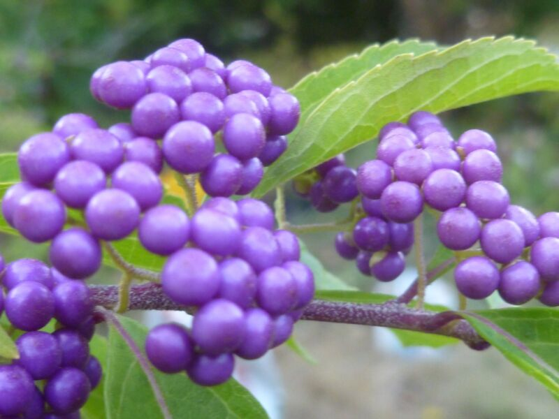 BEAUTY BERRY (Callicarpa) -- 30 seeds. Scarlet fall leaves & purple berries.