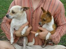Bonded pair Chihuahua X Mini Foxie East Lismore Lismore Area Preview