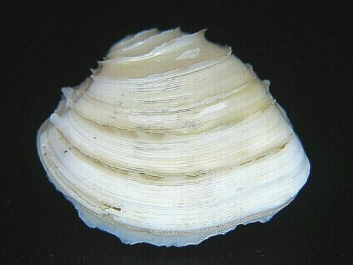 PLACAMEN ISABELLINA: THE ONLY RIBBED BIVALVE ON EBAY @ 34.12MM!