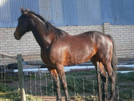 ONE IN A MILLION STB 16.1hh 2003 GELDING Inglewood Adelaide Hills Preview