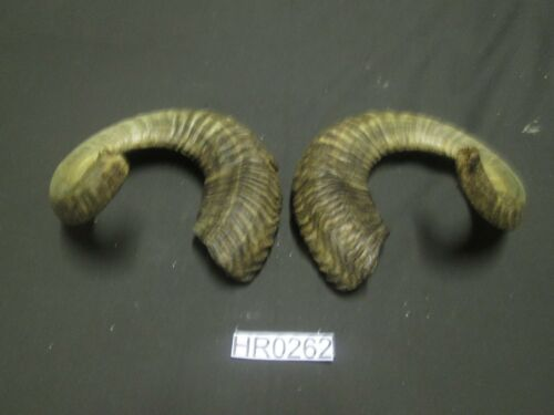Ram horn pair hill country outdoors rustic decor HR0262
