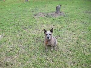 Missing Red Heeler.REWARD Nagambie Strathbogie Area Preview