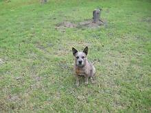 Missing Red Heeler.REWARD Nagambie Strathbogie Area Preview