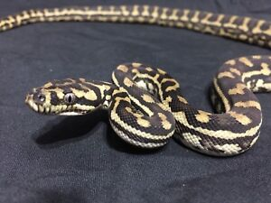 Coastal x Jungle Carpet Python