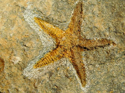 A Small 100% Natural 460 Million YEAR Old STARFISH Fossil From Morocco 201gr