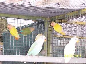 Peachface Lovebirds Marrar Coolamon Area Preview