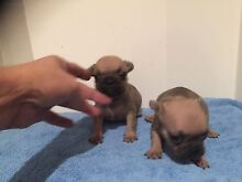Puppy Fawn French bulldog female carry blue North Manly Manly Area Preview